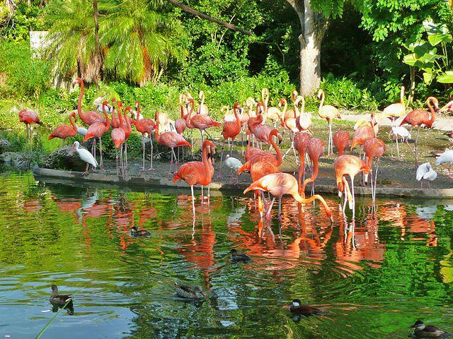 640px-Flamingos_Miami_MetroZoo