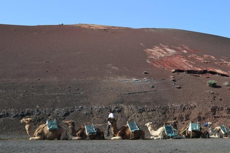 Camels in Lanzarote_1